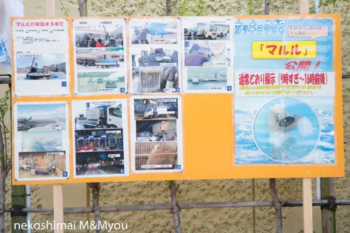 20140503kumamotomaruru