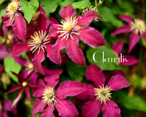 20150628d610clematis1
